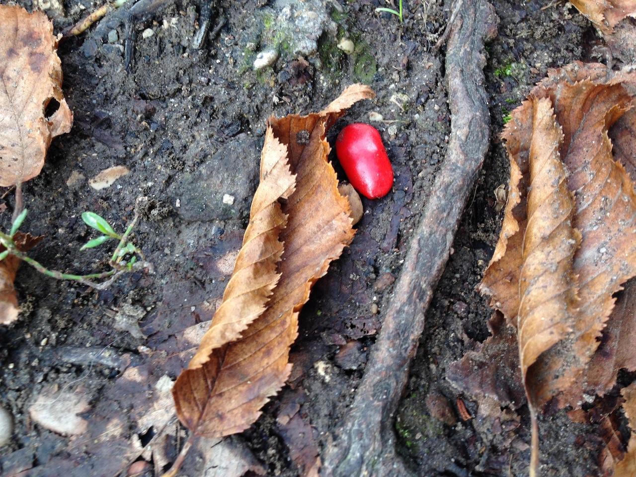 seme di magnolia