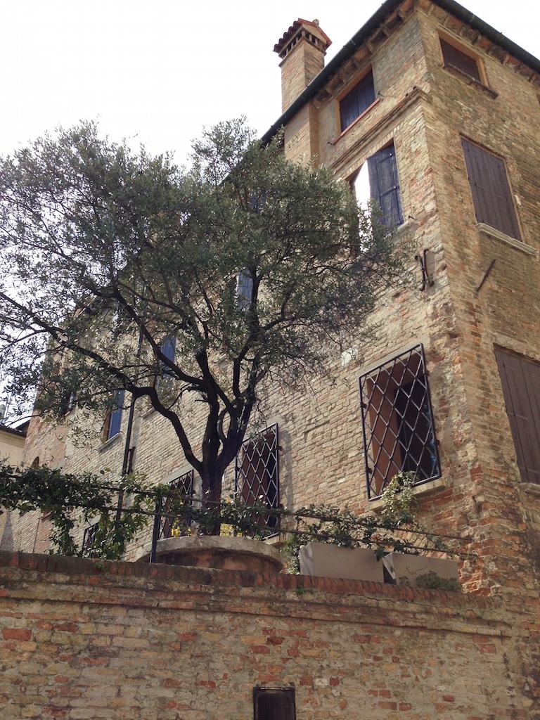 ulivo a Treviso