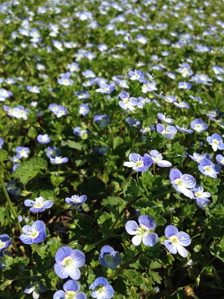 fiori azzurri